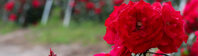 Roses1b